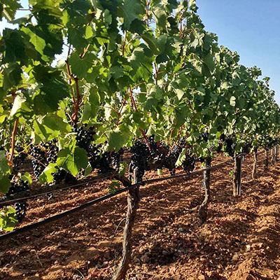 Griechenland: Attika – Weinberge und Weingüter um Athen Mylonas Winery, Keratea, red grapes, august Im August beginnt in Attika die Weinlese. Die Ernte findet in den Morgenstunden statt, um die Trauben während der Lese nicht der Sonnen auszusetzen. Foto: Mylonas Winery, Keratea