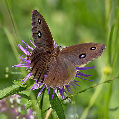 Minois_dryas_Blauäugiger_Waldportier Das gefährdete Blaukernauge (Minois dryas) ist ein großer Augenfalter der Feuchtwiesen bevorzugt. Foto: Wikipedia, Christian Pirkl