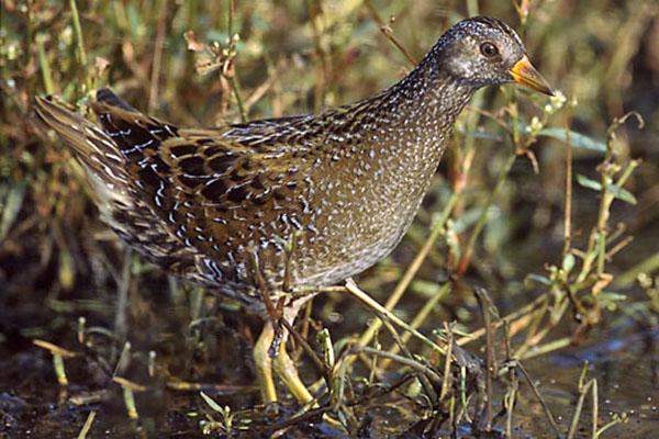 Porzana porzana Das scheue Tüpfelsumpfhuhn (Porzana porzana) ist mit den Wasserrallen verwandt und in Deutschland vom Aussterben bedroht. Foto: Wikipedia, Szczepanek
