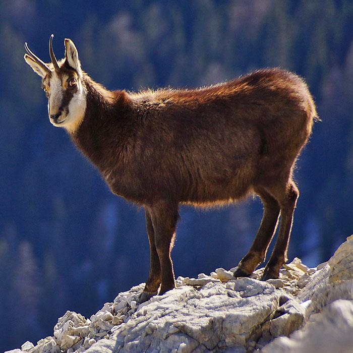 gaemse-karwendel Die Alpen-Gämse (Rupicapra rupicapra) wird in Bayern und Tirol Gams oder auch Gamswild genannt. Im Karwendel kann der geschickte Kletterer oft beobachtet werden. Foto: Pixabay