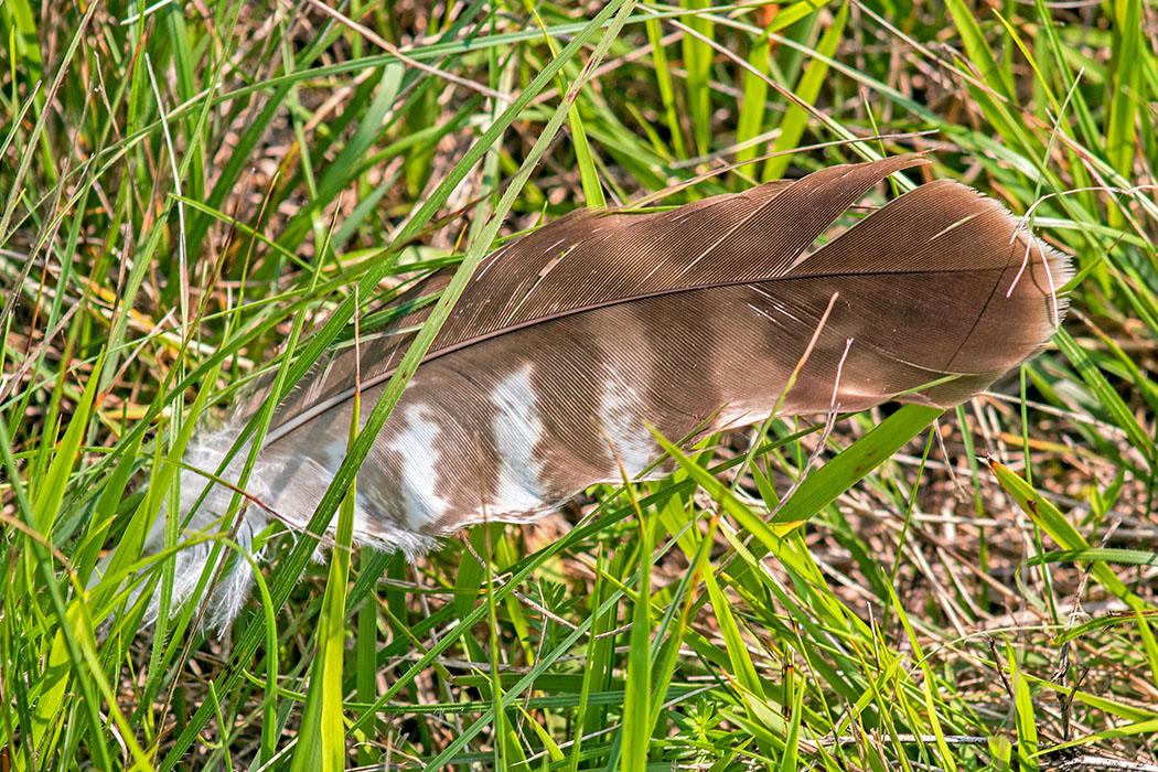 Die Feder von einem Mäusebussard (Buteo buteo) am Rand der Garchinger Heide. Der Greifvogel kommt in Mitteleuropa häufig vor. Er fängt vor allem Feldmäuse, aber auch Eidechsen, Ringelnattern und Frösche.