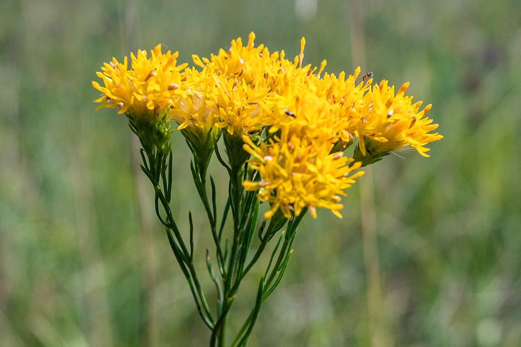 Die Gold-Aster (Galatella linosyris) wird bis zu 50 Zentimeter hoch und blüht bis September. Ursprünglich stammt sie aus südosteuropäischen bis südrussischen Steppengebieten.