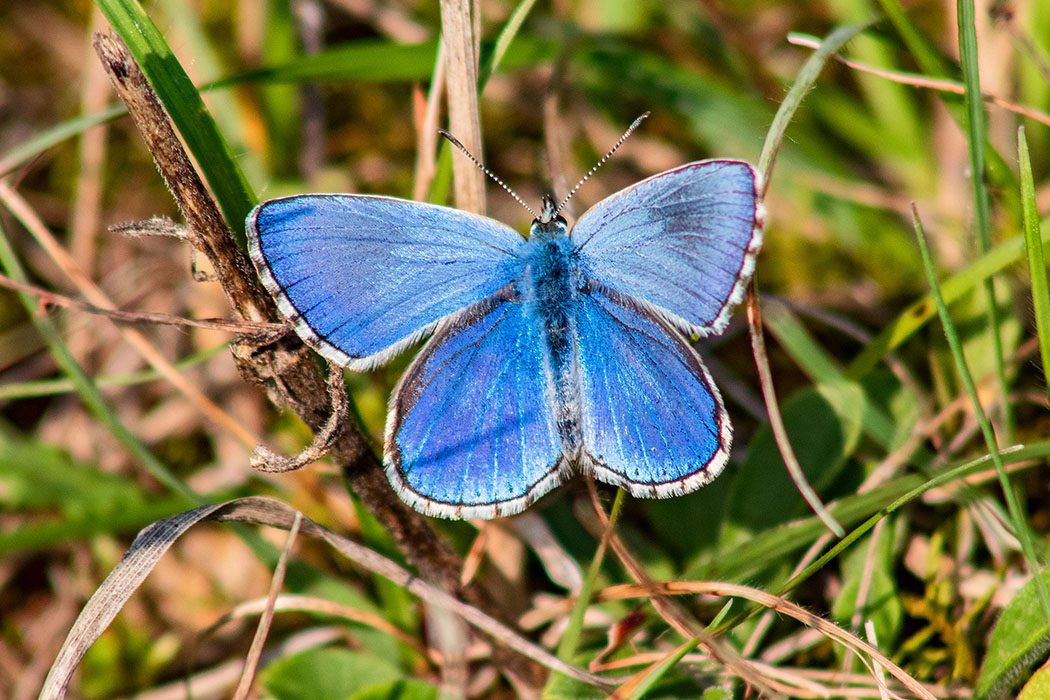Der Hauhechel-Bläuling (Polyommatus icarus) hat eine Spannweite von drei Zentimetern. Männchen sind an der Oberseite kräftig Blau gezeichnet. Weibchen in unauffällig braun gefärbt. Der Tagfalter ist von Ende April bis September unterwegs.