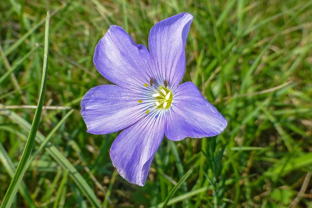 Stauden-Lein (Linum perenne) ist selten in Deutschland und vom Aussterben bedroht. Seine Blütezeit ist Juni bis August. Früher wurde daraus Leinen gewonnen, die wie Gemeiner Lein (Linum usitatissimum) verwendet wurde.