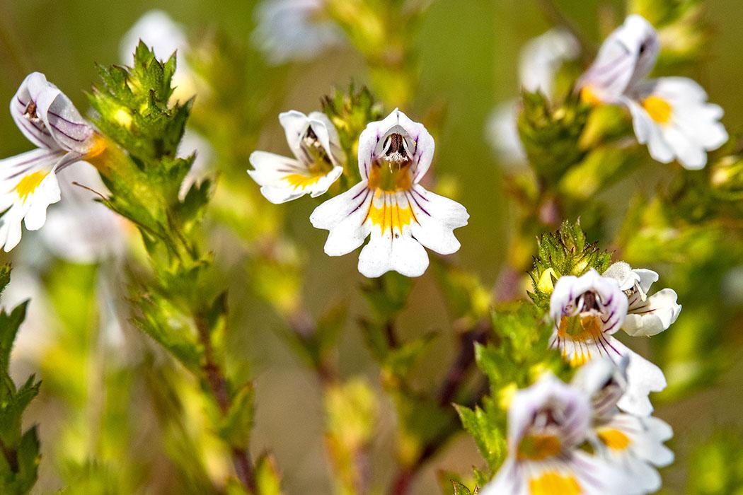 Die hübschen Blüten vom Wiesen-Augentrost (Euphrasia officinalis) sind winzig, die Pflanze wird maximal 25 cm hoch.