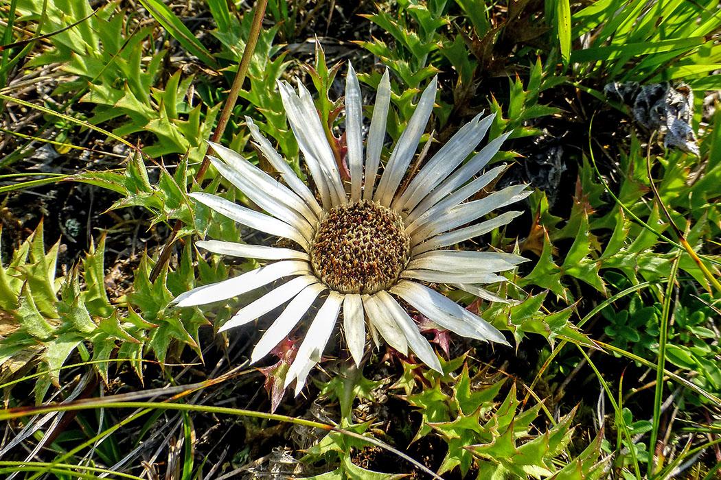 Dilberdisteln (Carlina acaulis) haben bis zu einem Meter tiefe Pfahlwurzeln. Die Blütezeit reicht von Juli bis September. Die Korbböden wurden früher wie Artischocken zubereitet und gegessen.