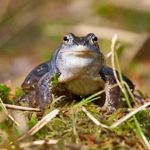 Moorfrosch_ol Der Moorfrosch (Rana arvalis) ist ein Braunfrosch von maximal acht Zentimeter Länge. Zur Laichzeit im März und April verfärben sich die Männchen bläulich-violett bis intensiv himmelblau. Foto: Wikipedia, Schosse-sitzer